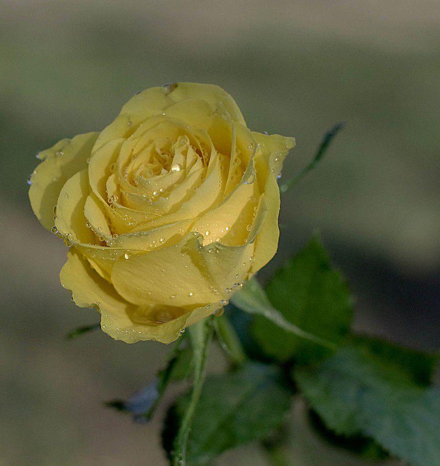 roses-1-copie-1.jpg
