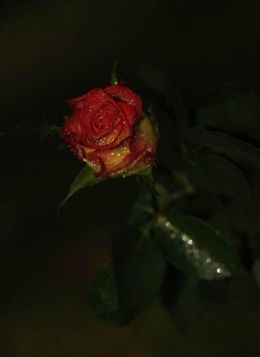 roses-copie-1.jpg