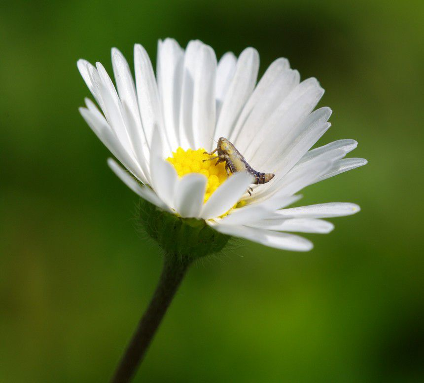 micro-cicadelle1.jpg