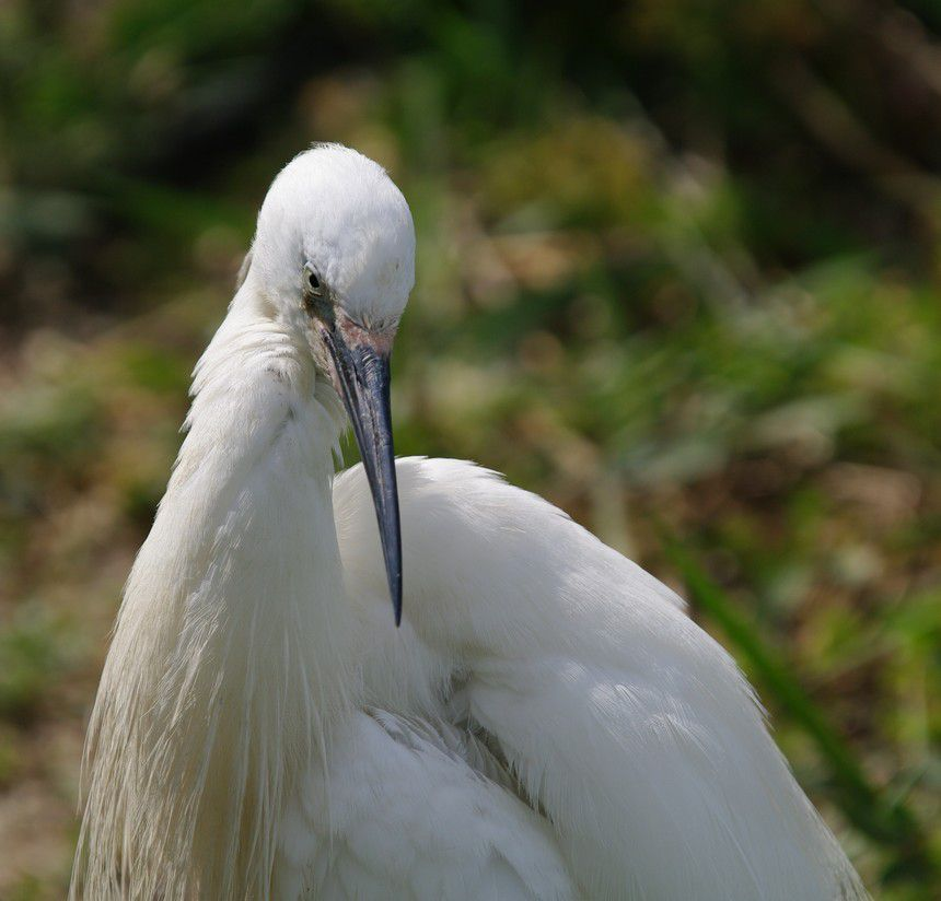 portrait-d-aigrette-copie-1.jpg