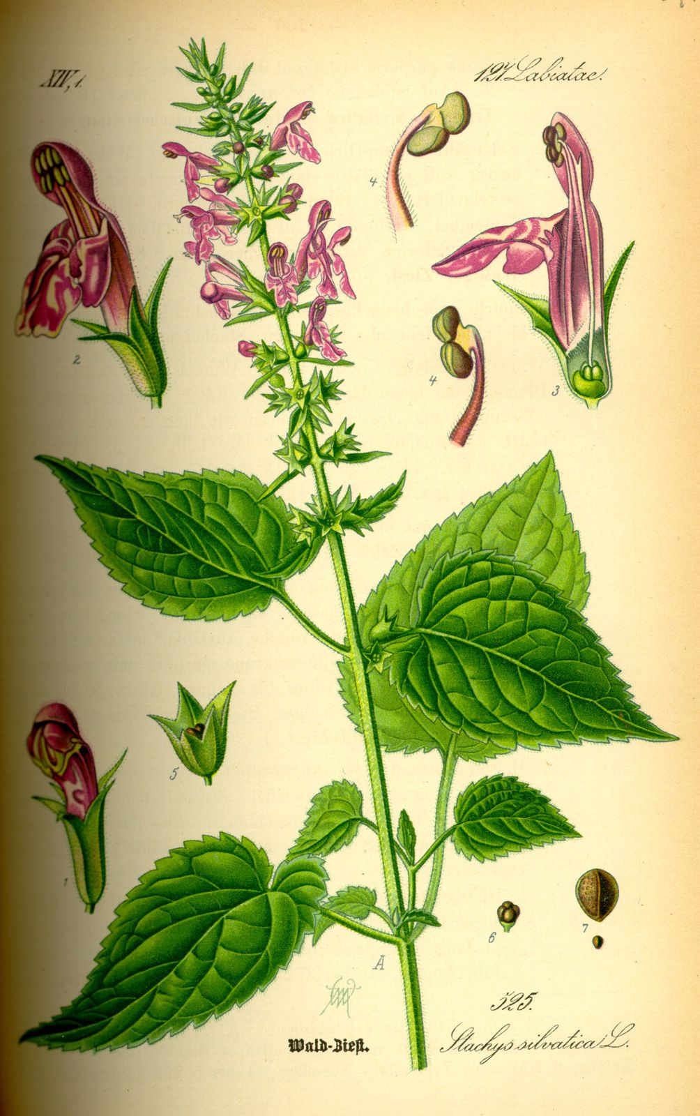Stachys sylvatica HD