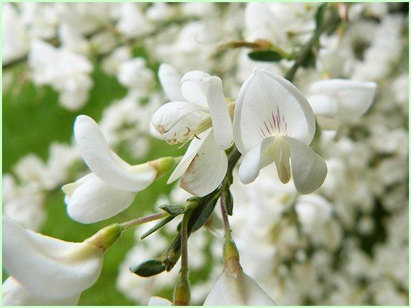 Genêt blanc (4)