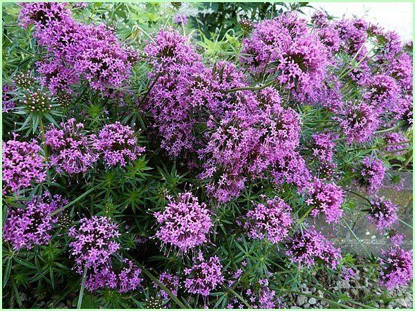 Phuopsis Stylosa, Faux Gaillet (2)