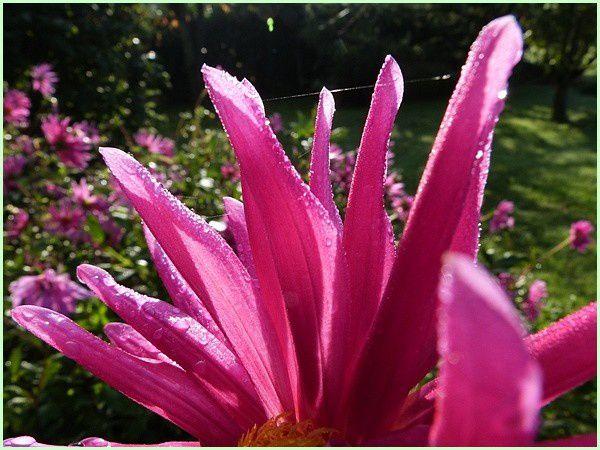 Dahlia rose (10)