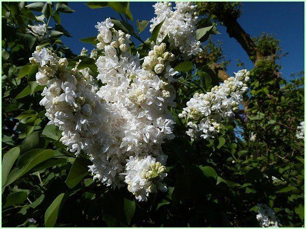 Lilas blanc (5)