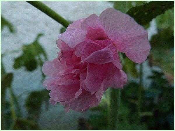 Roses trémières (2)