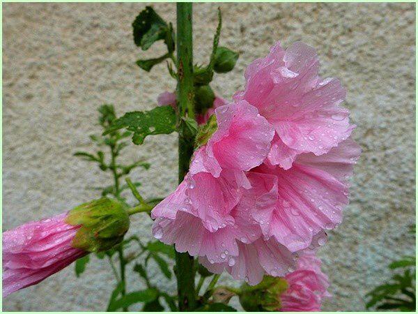 Roses trémières (7)