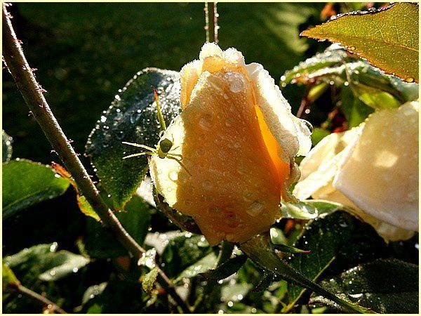 Rose jaune Eclipse (3)