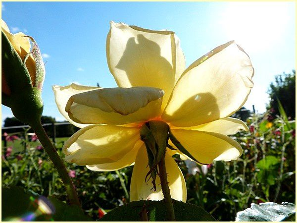 Rose jaune Eclipse (4)