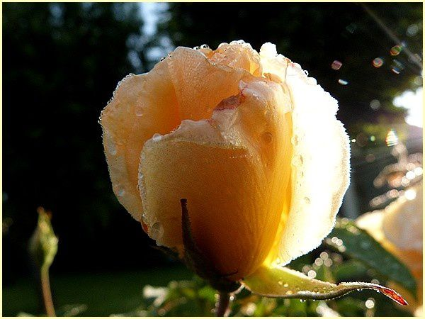 Rose jaune Eclipse (5)