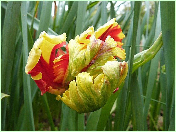 Tulipes (18)