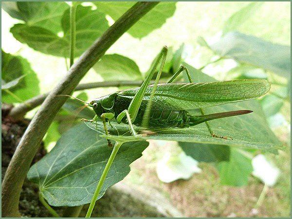 Grande sauterelle (4)