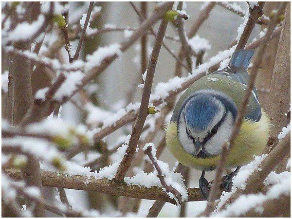 Mésange bleue (9)