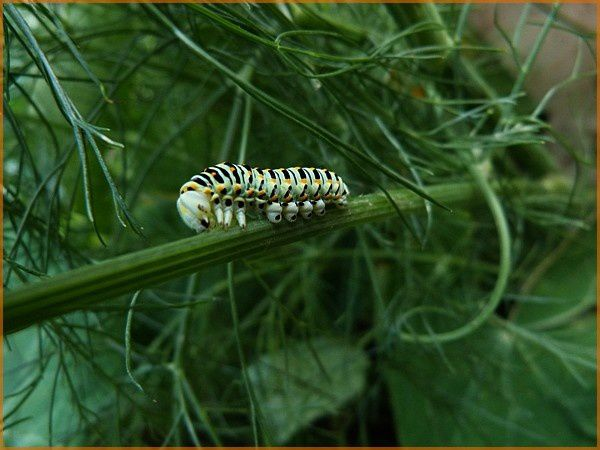 Chenille Machaon (10)