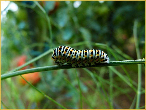 Chenille Machaon (4)