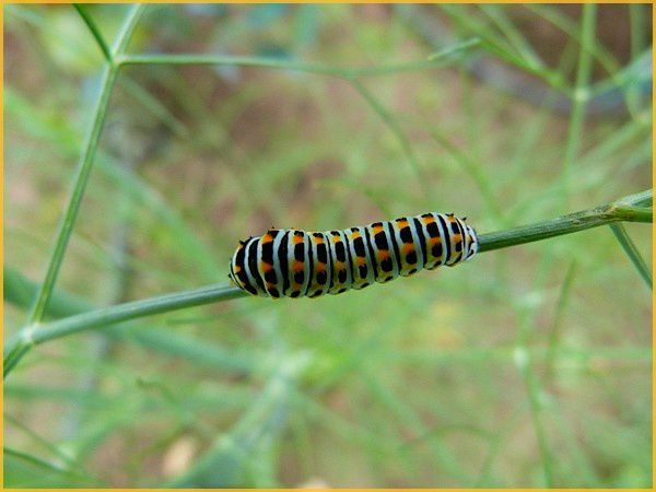 Chenille Machaon (5)