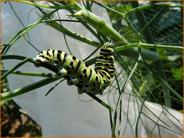 Chenille Machaon (6)