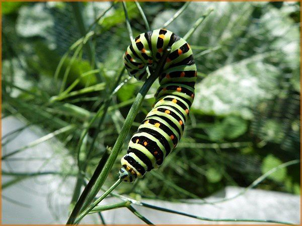 Chenille Machaon (7)