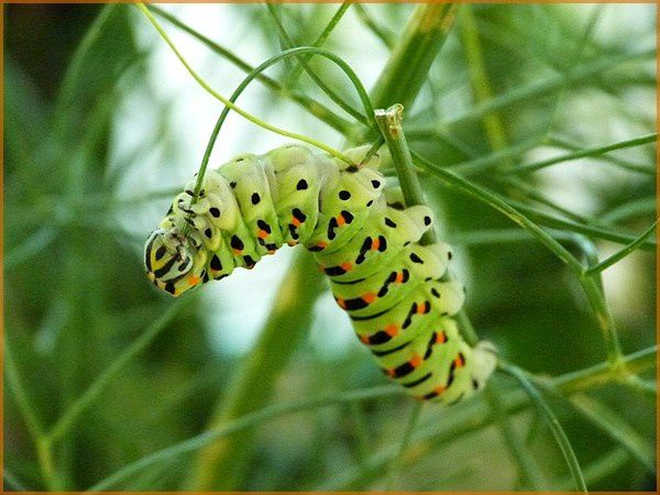 Chenille Machaon (8)