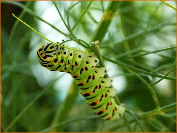 Chenille Machaon (9)