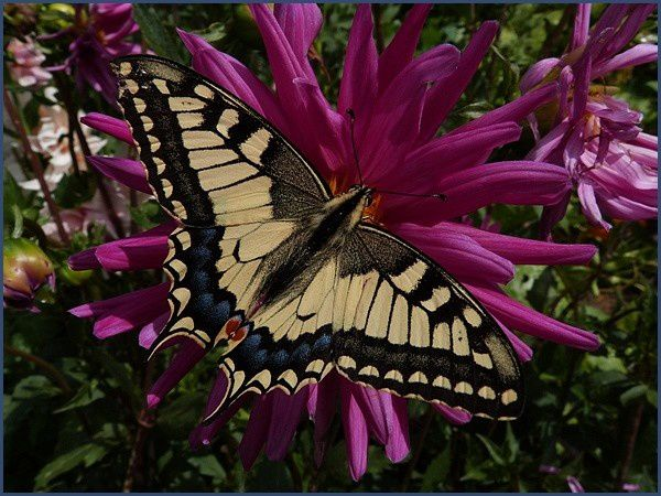 Le Machaon (7)
