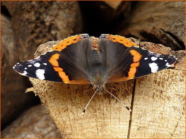 Papillon le Vulcain (4)