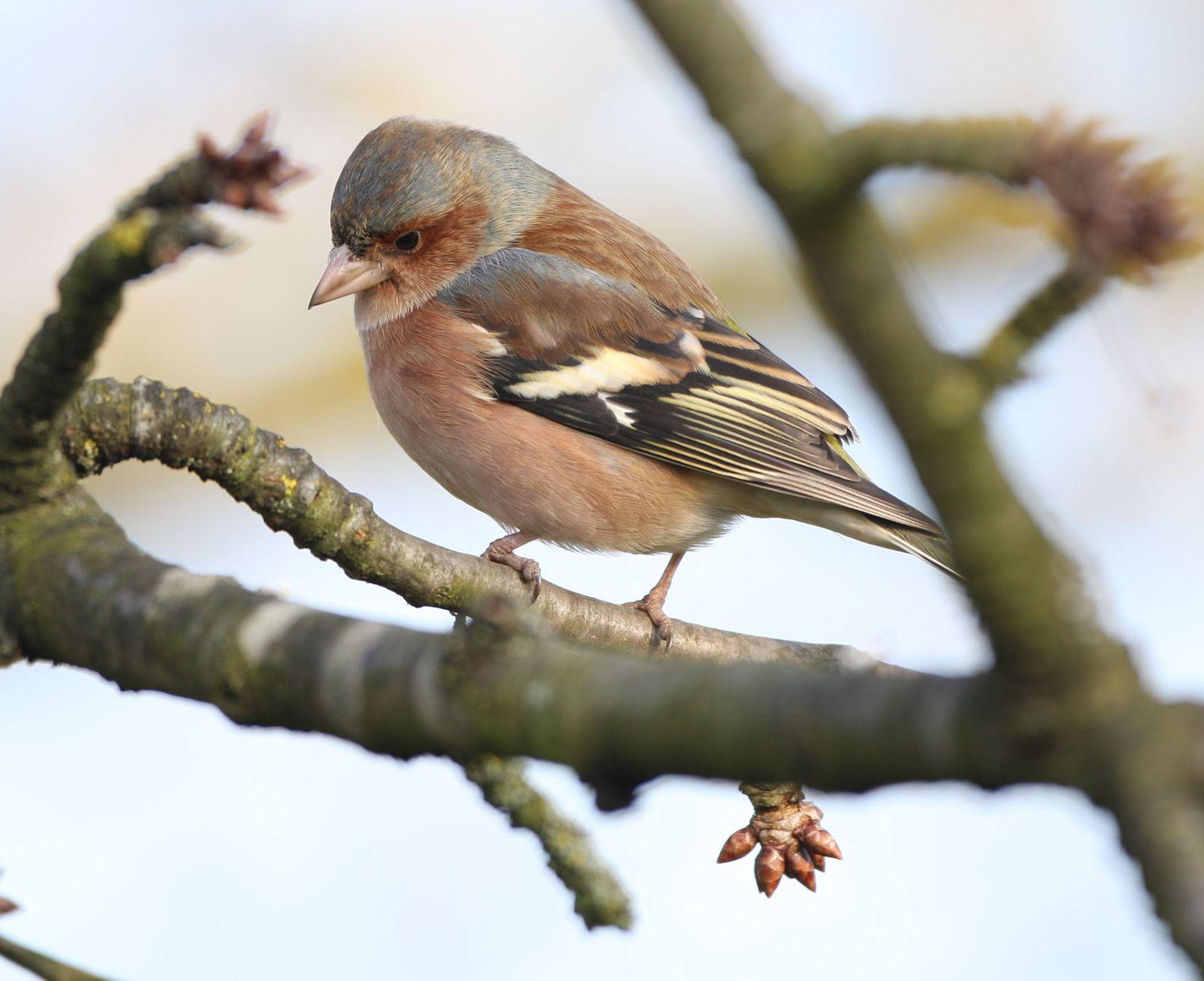 Pinson des arbres mâle photo d'oiseaux de Picardie Somme Benoit Henrion
