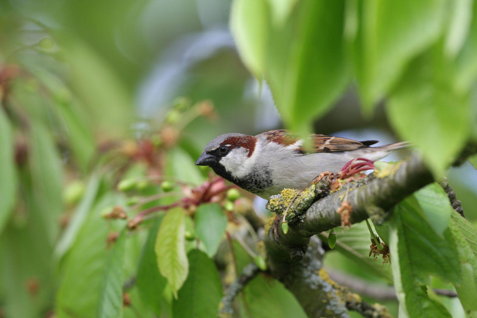 Moineau domestique photo d'oiseaux de Picardie Somme Benoit Henrion