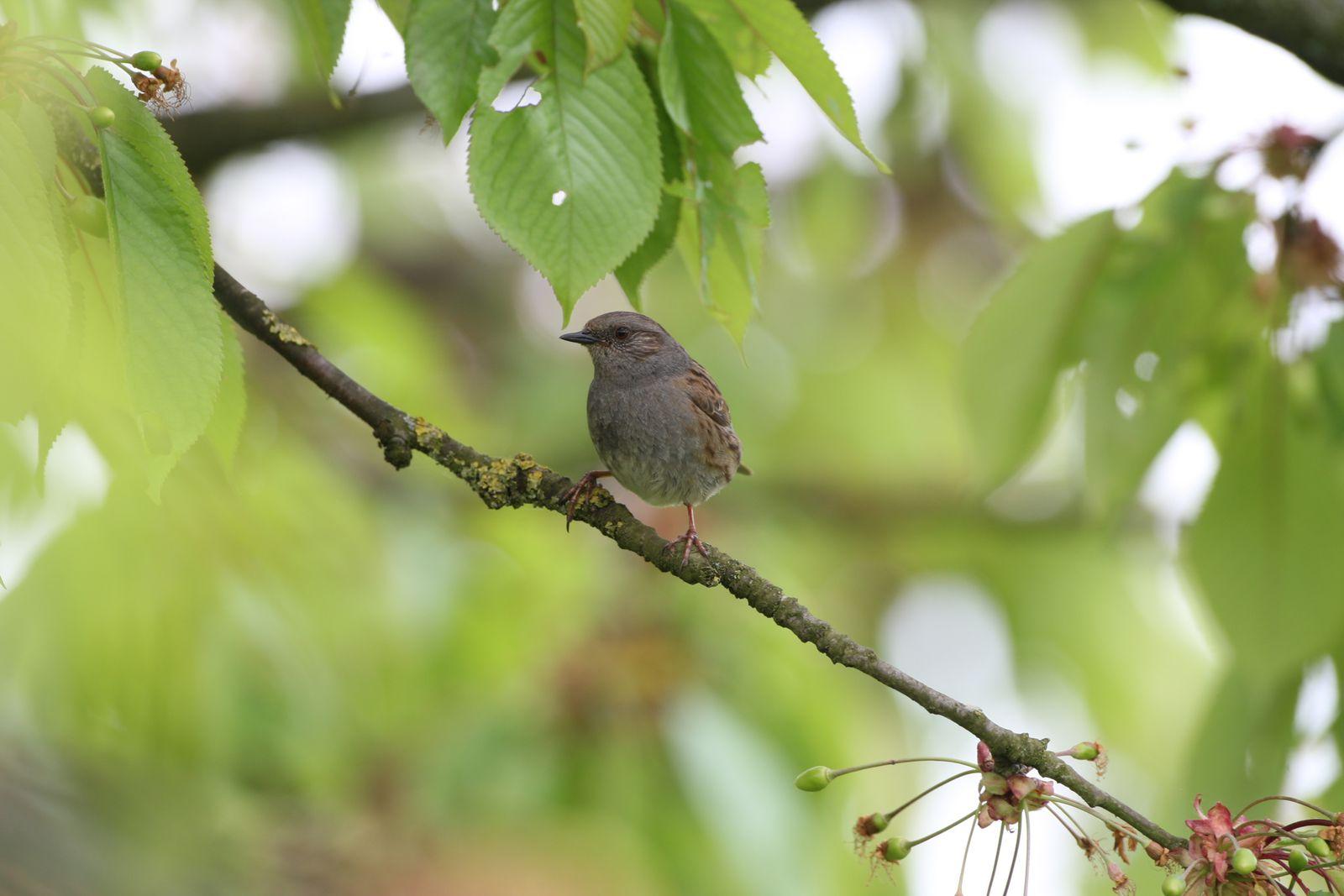 Accenteur mouchet photo d'oiseaux de Picardie Somme Benoit Henrion