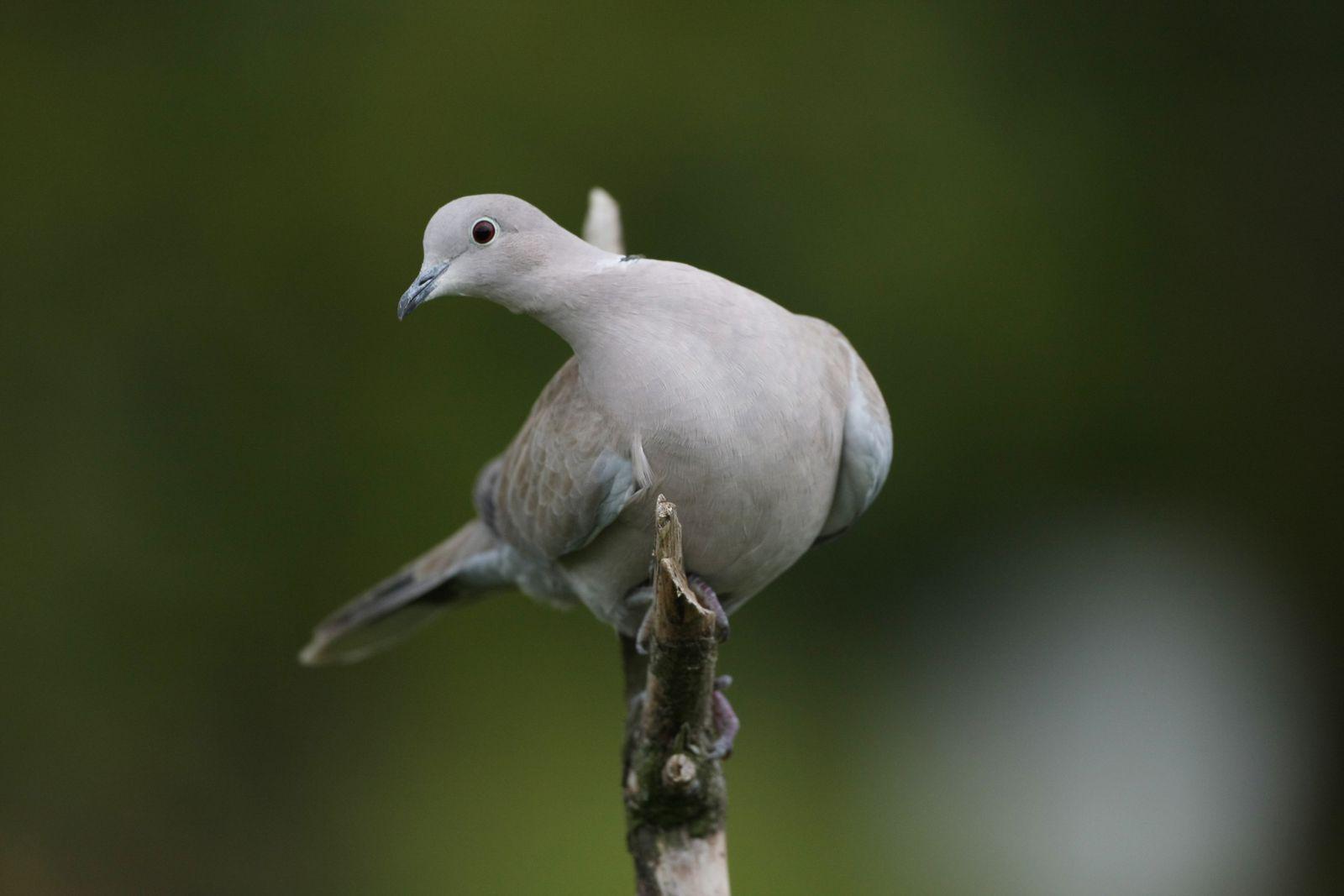 Tourterelle turque ailes déployées photo d'oiseaux de Picardie Somme Benoit Henrion