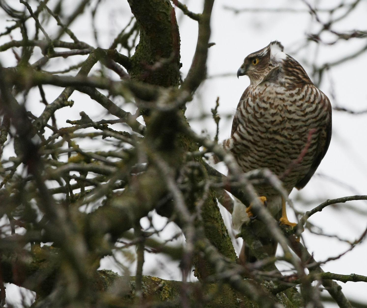 Epervier d'Europe femelle photo d'oiseaux de Picardie Somme Benoit Henrion
