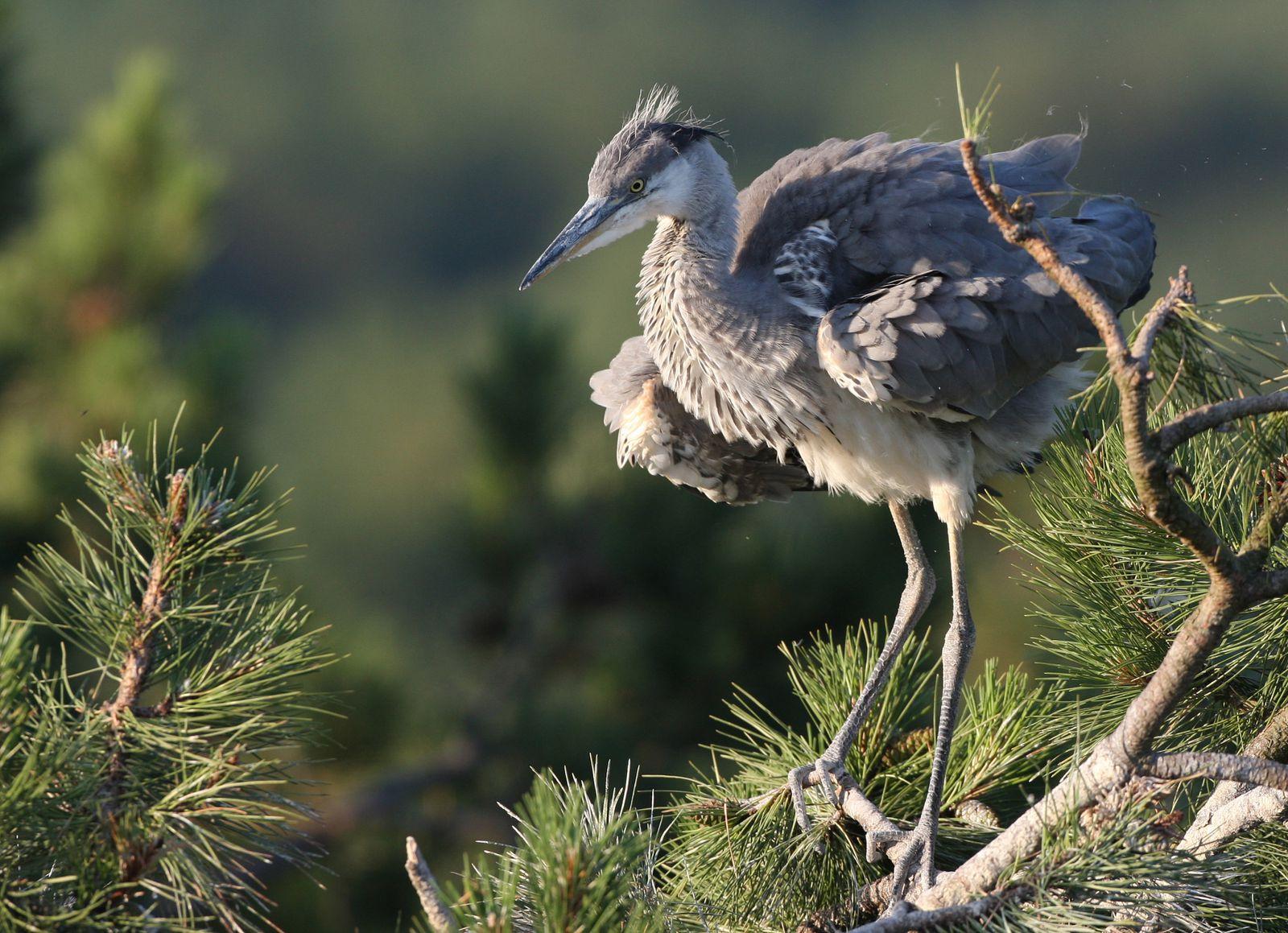 Héron cendré juvénile-photos d'oiseaux de Picardie-Marquenterre-photos d'oiseaux de Picardie-Benoit Henrion