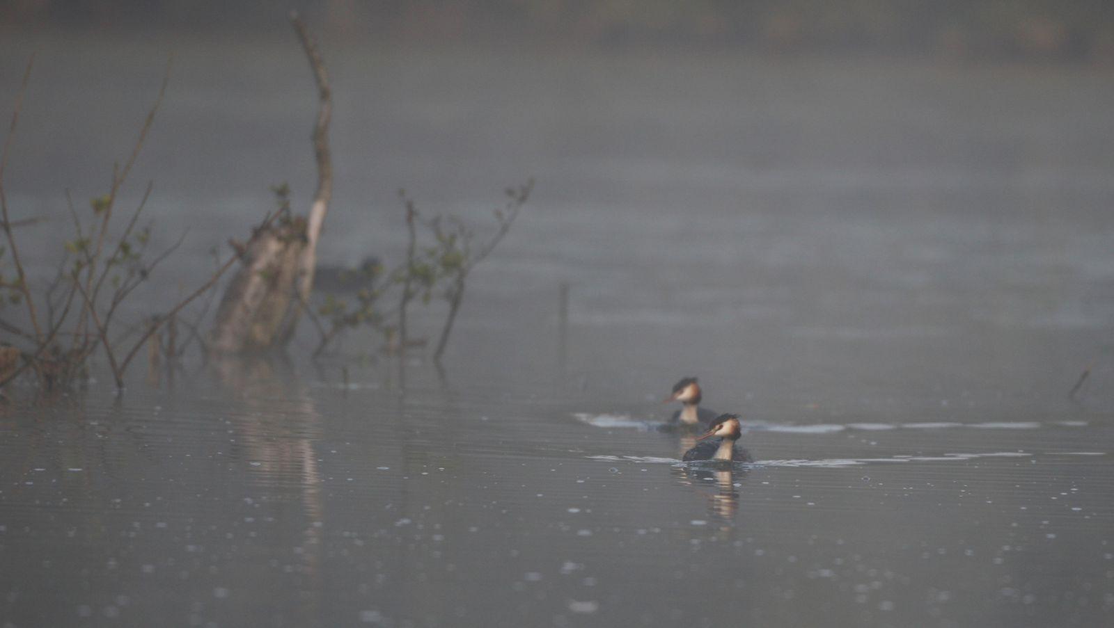 Grèbes huppés en couple photo d'oiseaux de Picardie Haute Somme Benoit Henrion