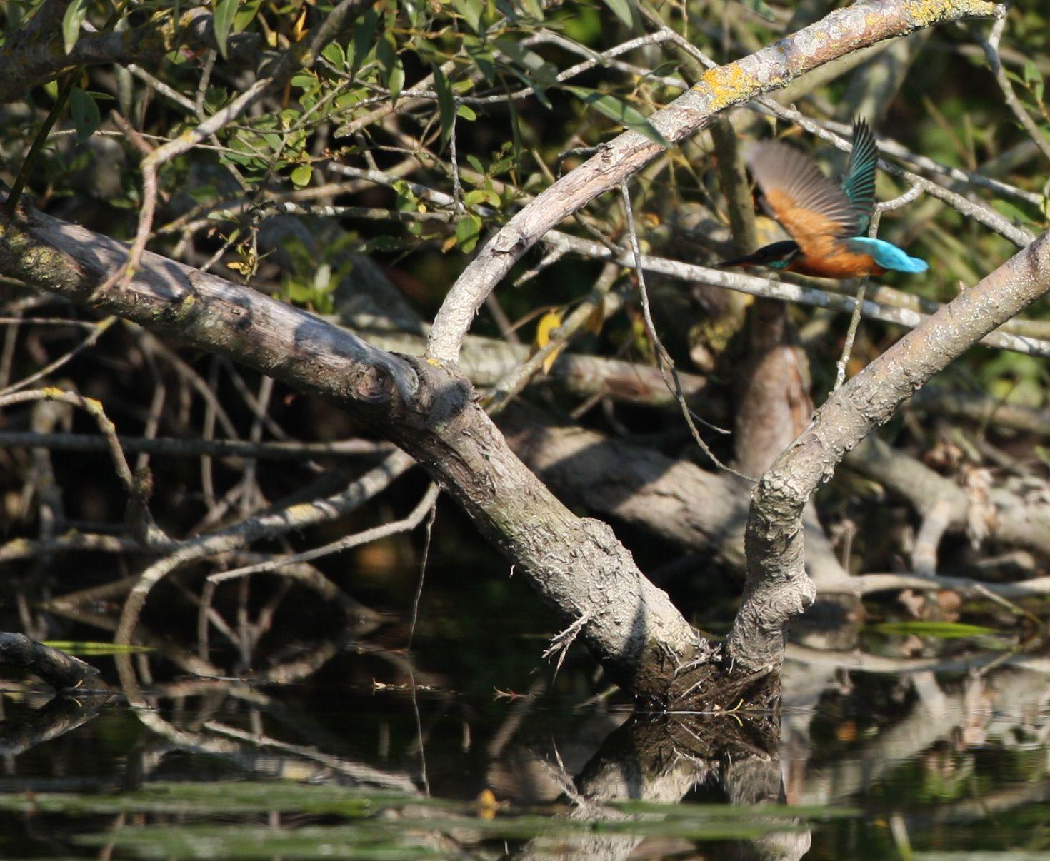 Martin pêcheur en vol photo d'oiseaux de Picardie Haute Somme Benoit Henrion
