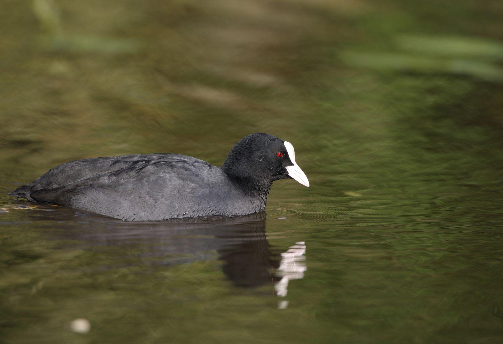 Foulque macroule photo d'oiseaux de Picardie Haute Somme Benoit Henrion