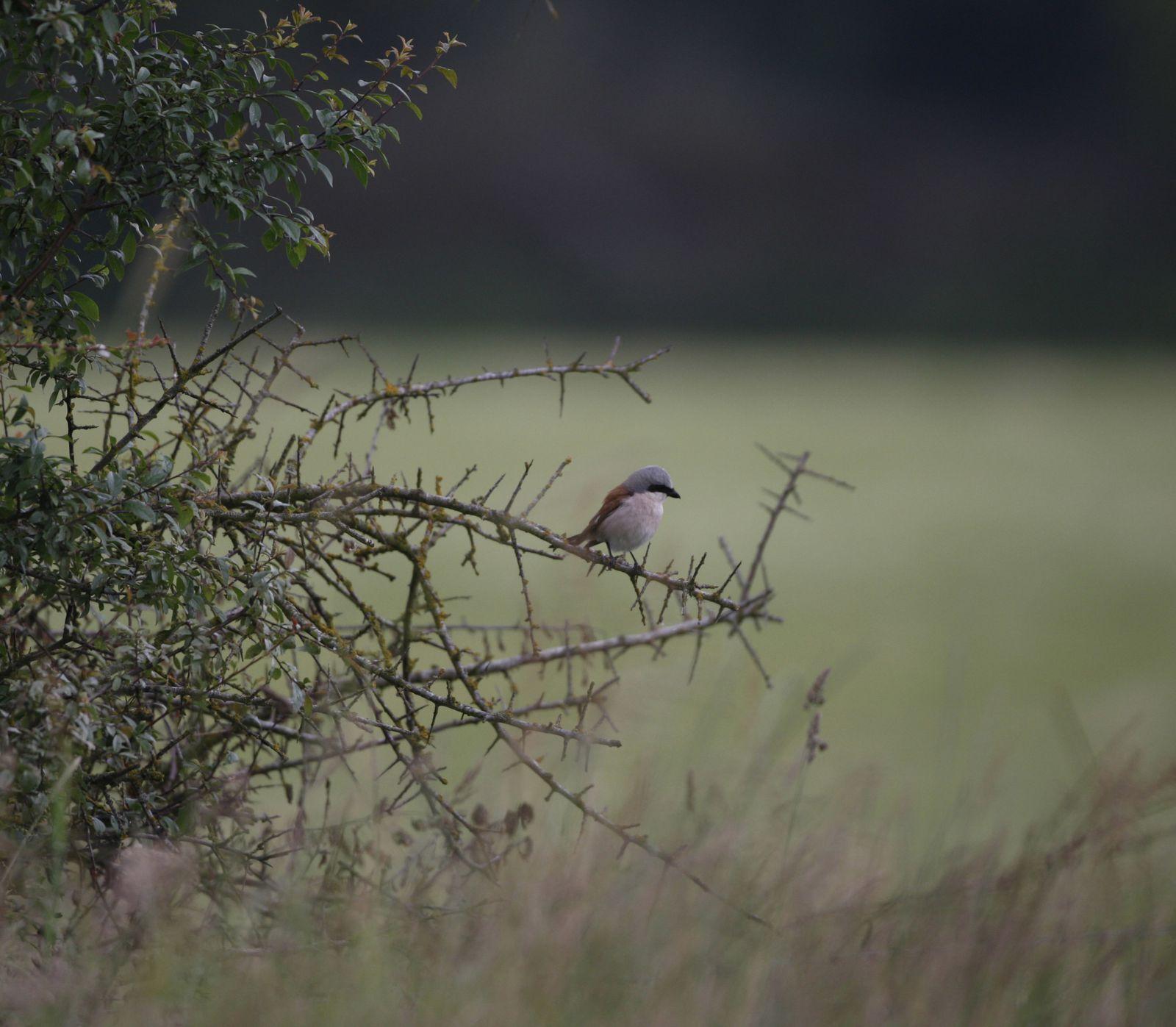 Pie grièche écorcheur mâle photos d'oiseaux de Picardie Thiérache Benoit Henrion
