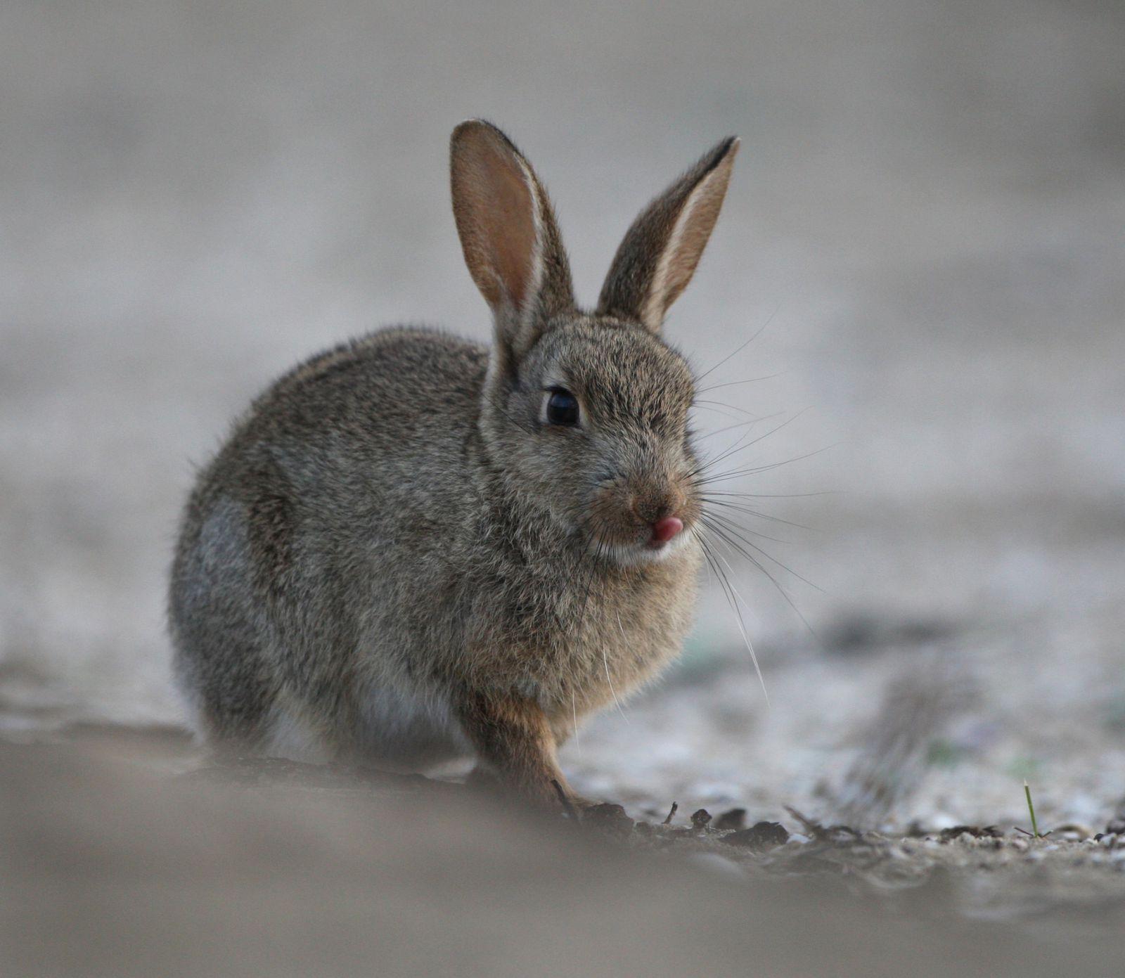 Lapin de garenne qui sort la langue côte picarde-photo de faune sauvage de Picardie-Benoit Henrion