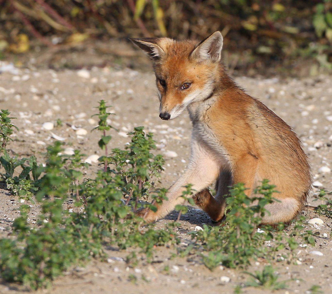 Renard roux côte picarde photo de faune sauvage de Picardie-Benoit Henrion