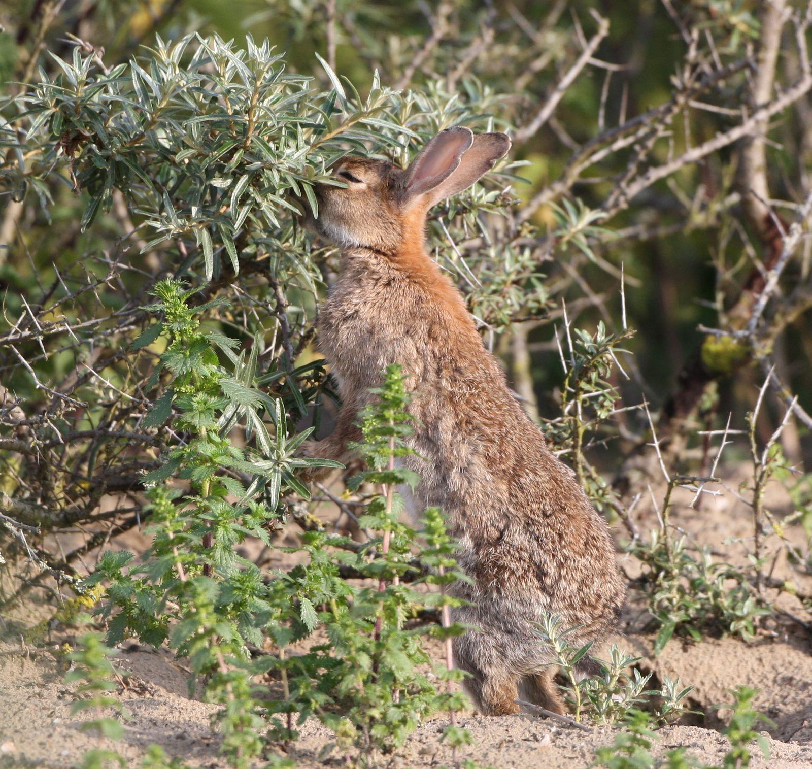 Lapin de garenne qui s'alimente côte picarde photo de faune sauvage de Picardie-Benoit Henrion