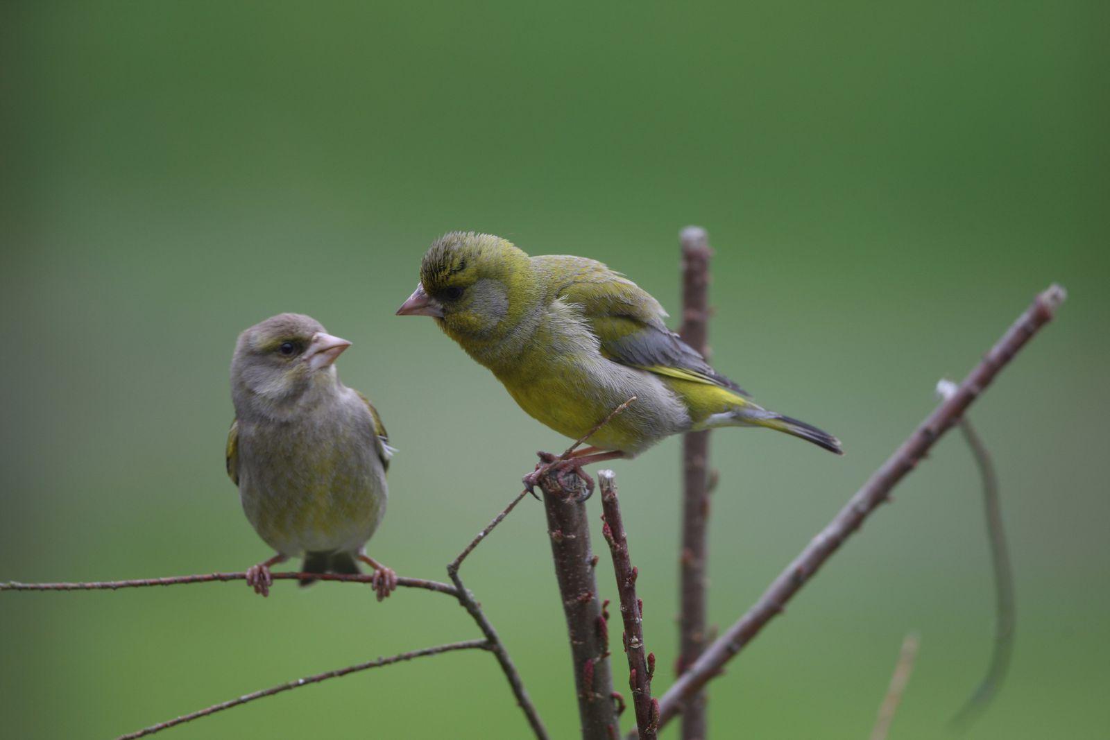 Verdiers en couple mâle femelle photo d'oiseaux de Picardie Thiérache ardennaise Benoit Henrion