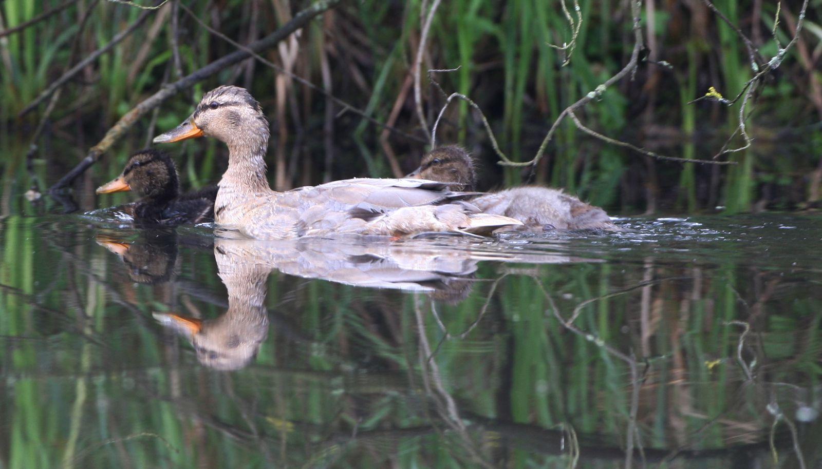 Canard et canetons photo d'oiseaux de Picardie Somme Benoit Henrion