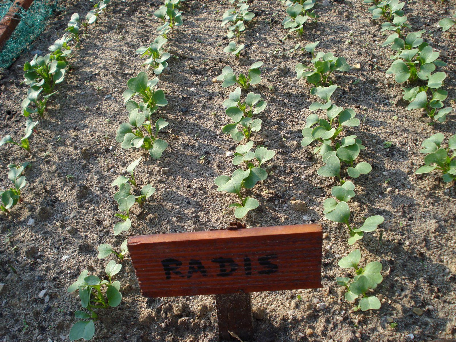Dans Mon Jardin Il Y A Des Radis Framboise Et Potiron
