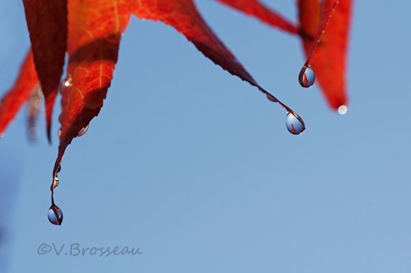 goutte-feuille-rouge2
