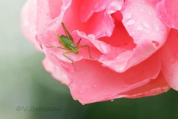 sauterelle-rose-gouttes1