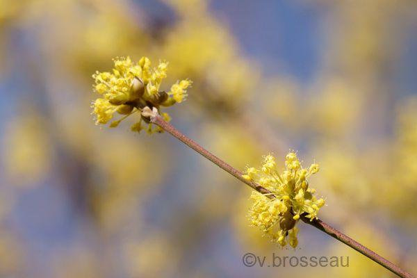 cornus-officinalis2