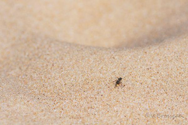 fourmi-sable