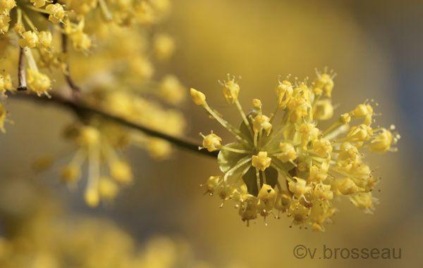 cornus-officinalis3