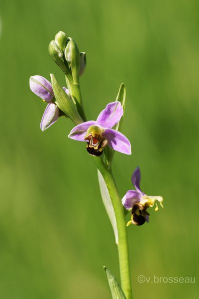 ophrys-abeille1