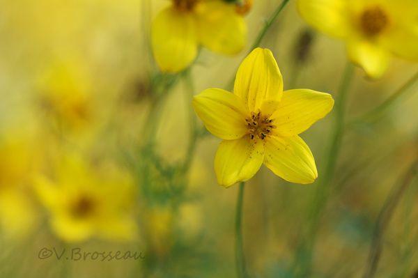 fleur-jaune4