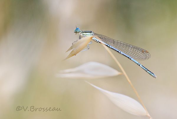 agrion2